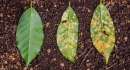 healthy-managed-and-infested-by-roya-leafs-the-2-first-will-survive-due-to-treatment