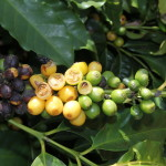 The Sauterne and Origami Arabica Crop – Brazil's Drought Situation in Coffee