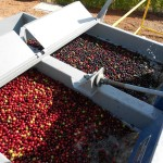Brazil's South Minas Arabica  Harvest video report, late July/Early august 2015.